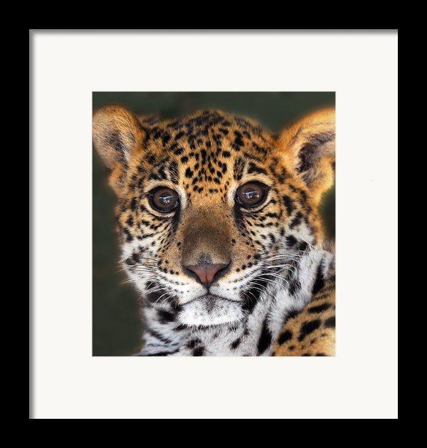 Cheetah Framed Print By Craig Incardone