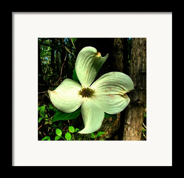 Dogwood Blossom I Framed Print By Julie Dant