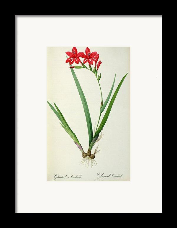 Gladiolus Cardinalis Framed Print By Pierre Joseph Redoute