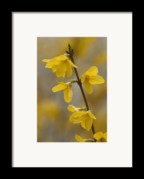 Golden Forsythia Framed Print By Kathy Clark