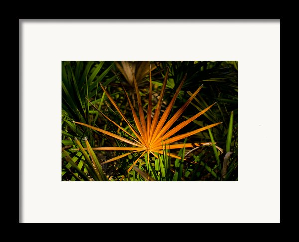 Golden Saw Palmetto Framed Print By John Myers