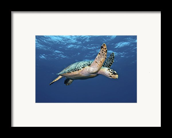 Hawksbill Sea Turtle In Mid-water Framed Print By Karen Doody