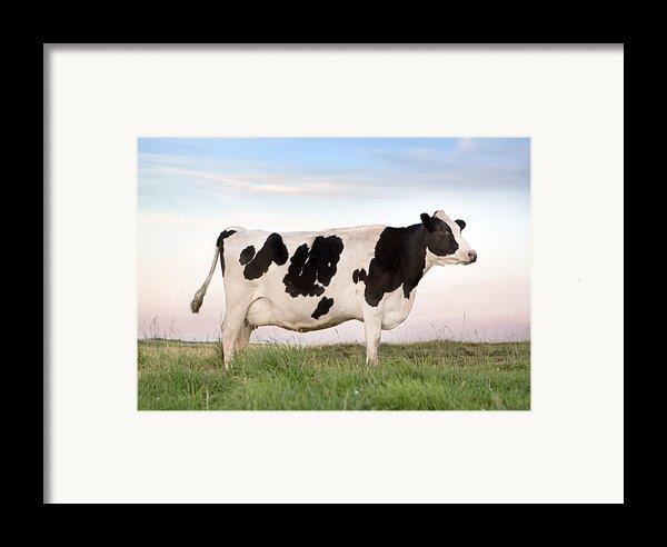 Holstein Dairy Cow Framed Print By Cindy Singleton