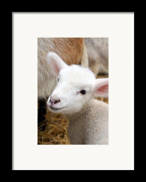Lamb Framed Print By Michelle Calkins
