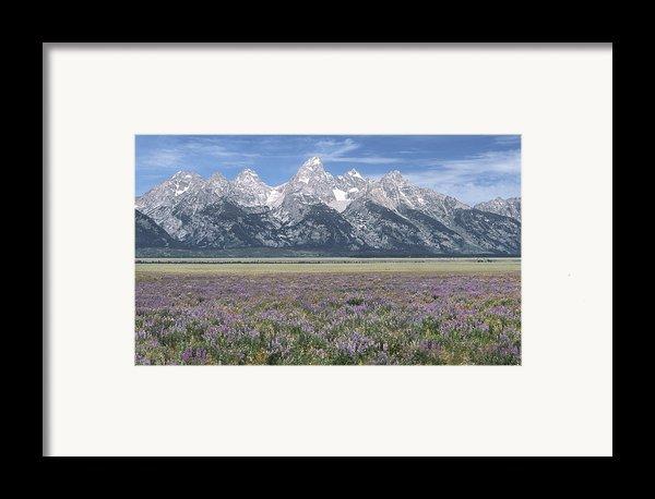 Lupine And Grand Tetons Framed Print By Sandra Bronstein