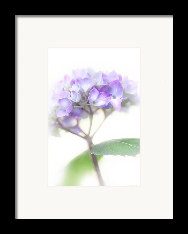 Misty Hydrangea Flower Framed Print By Jennie Marie Schell