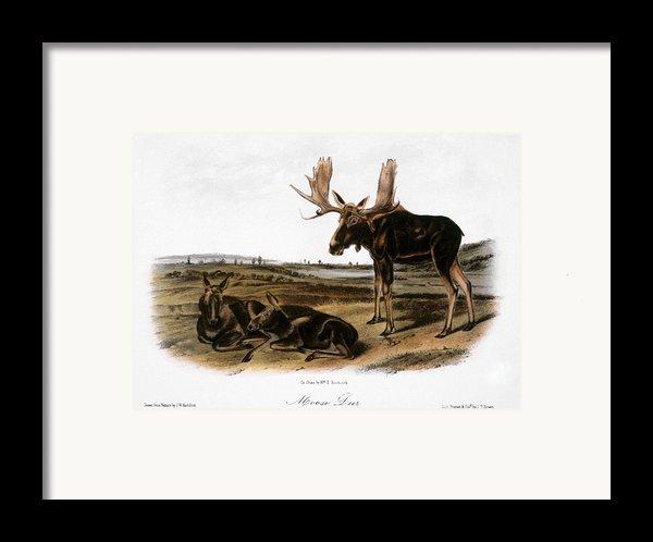Moose Deer (cervus Alces) Framed Print By Granger