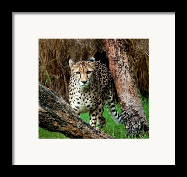 On The Prowl Framed Print By Heather Thorning