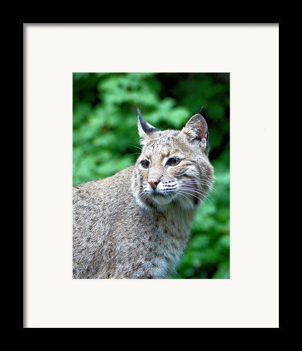 Oregon Bobcat Framed Print By Nick Gustafson