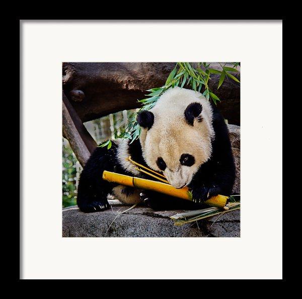 Panda Bear Framed Print By Robert Bales