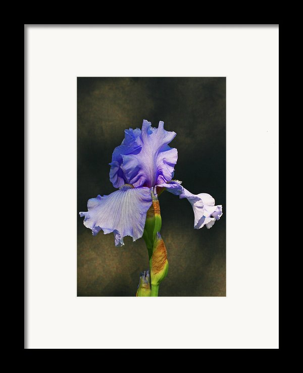 Portrait Of An Iris Framed Print By Steve Augustin