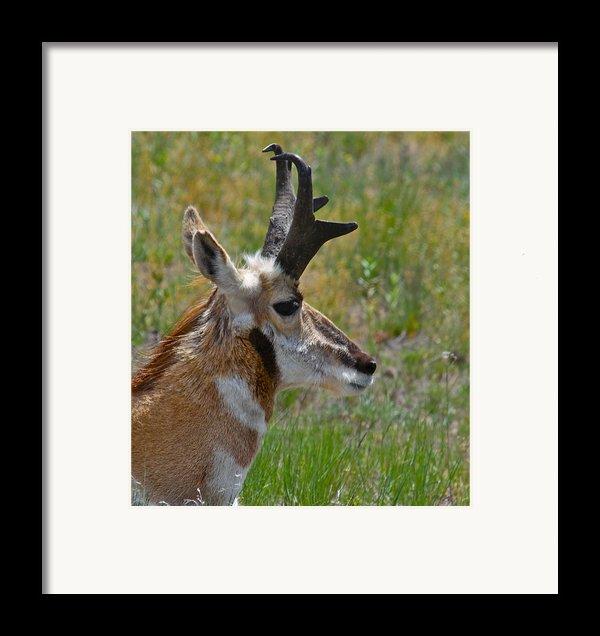 Pronghorn Buck Profile Framed Print By Karon Melillo Devega