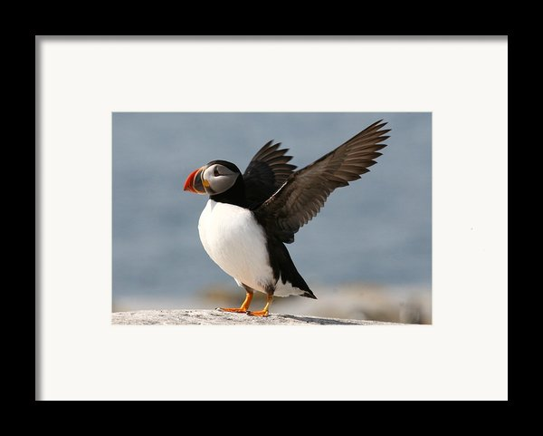 Puffin Impersonating An Eagle Framed Print By Stanley Klein