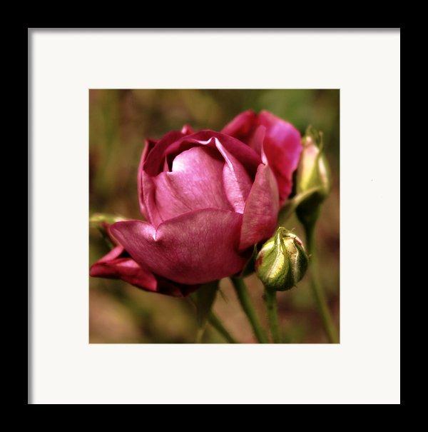 Purple Rose Framed Print By Cathie Tyler