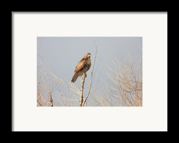 Red Tailed Hawk 20100101-5 Framed Print By Wingsdomain Art And Photography