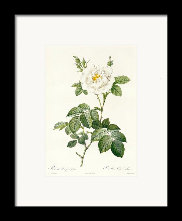 Rosa Alba Flore Pleno Framed Print By Pierre Joseph Redoute