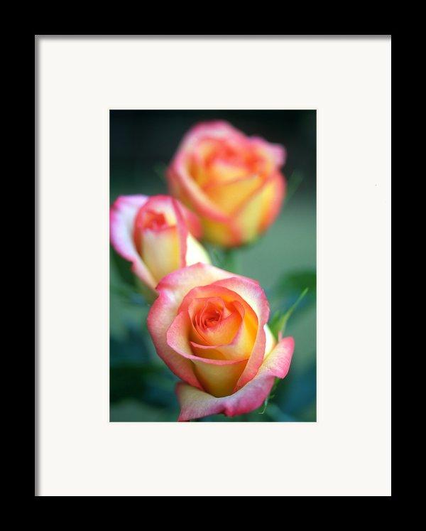 Rose Trio Framed Print By Kathy Yates