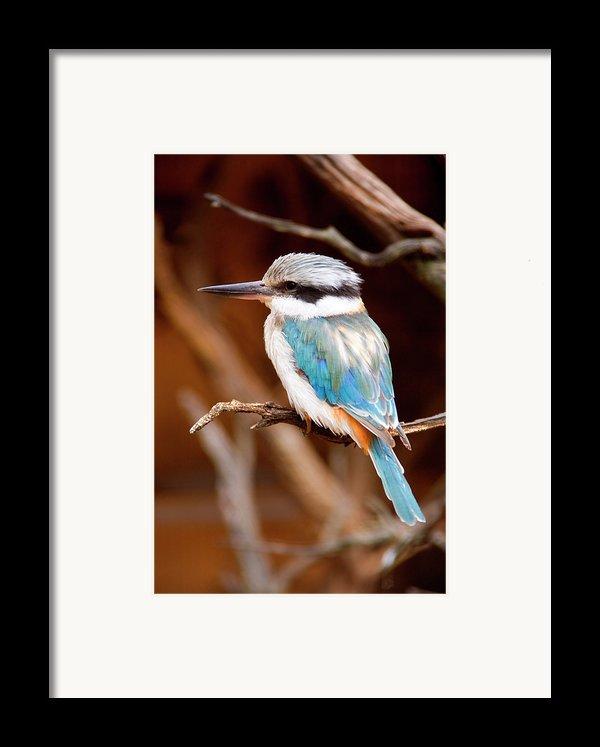 Sacred Kingfisher Framed Print By Mike  Dawson