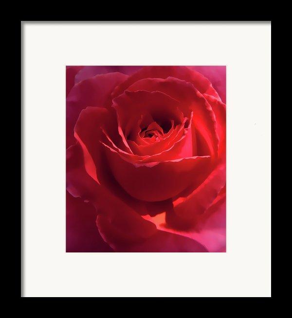 Scarlet Rose Flower Framed Print By Jennie Marie Schell