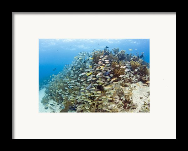 Schools Of Grunts, Snappers, Tangs Framed Print By Karen Doody