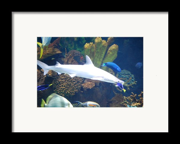 Shark Bait Framed Print By Peter  Mcintosh