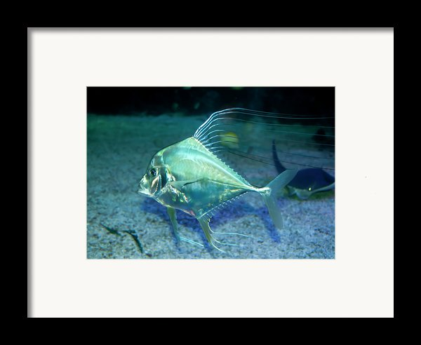 Silver Fish Framed Print By Svetlana Sewell