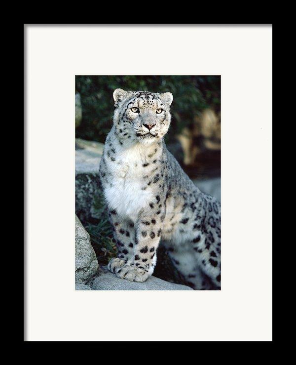 Snow Leopard Uncia Uncia Portrait Framed Print By Gerry Ellis