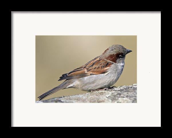 Sparrow Framed Print By Melanie Viola