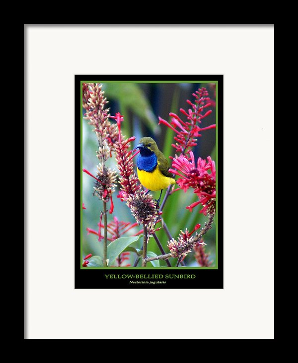 Sunbird Framed Print By Holly Kempe