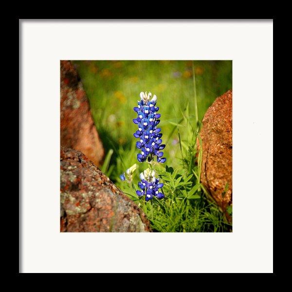 Texas Bluebonnet Framed Print By Jon Holiday