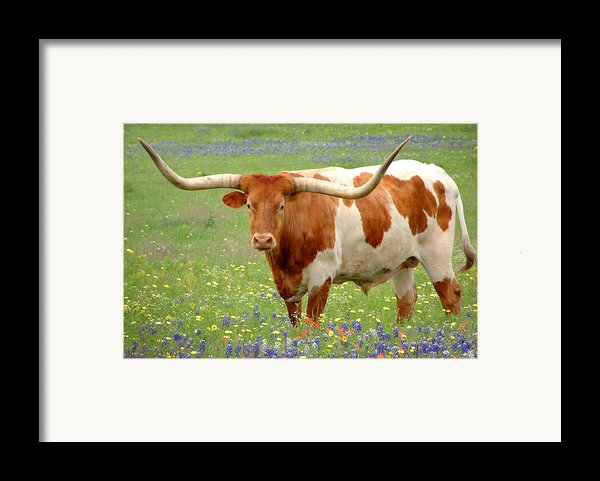 Texas Longhorn Standing In Bluebonnets Framed Print By Jon Holiday