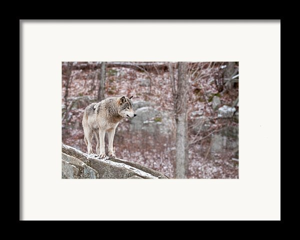 Timber Wolf On Rocks Framed Print By Michael Cummings