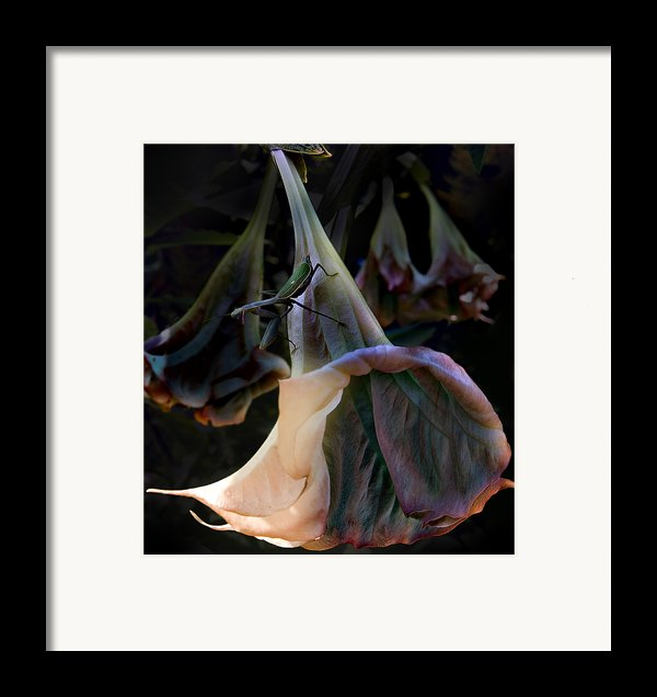 Trumpet Flower Framed Print By Rob Outwater