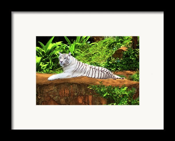 White Tiger Framed Print By Mothaibaphoto Prints