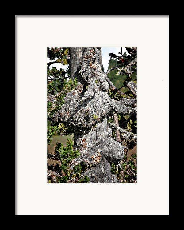 Whitebark Pine Tree - Iconic Endangered Keystone Species Framed Print By Christine Till