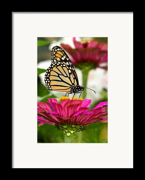 Zinnia Rose And Monarch Framed Print By Steve Augustin